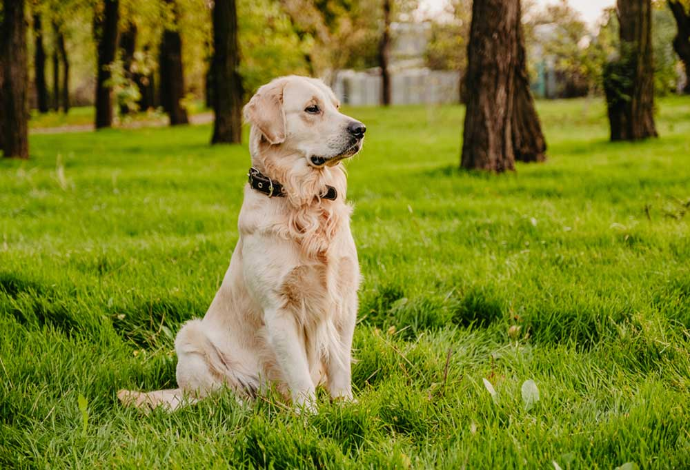 Golden retriever sitting in the grass in a grove of trees