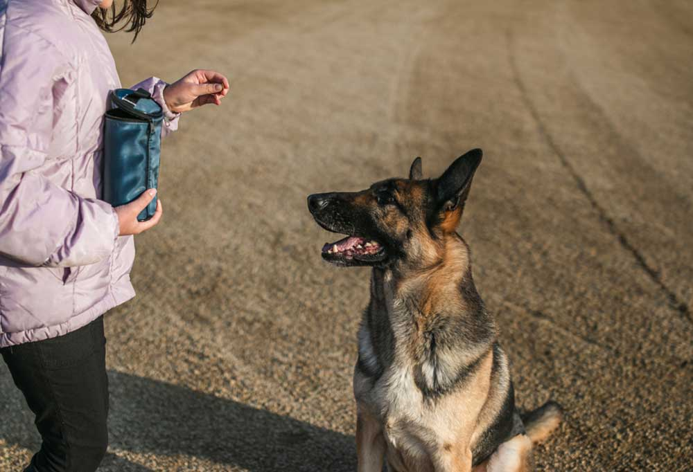 German Shepherd sitting in field while girl rewards it for sitting and staying