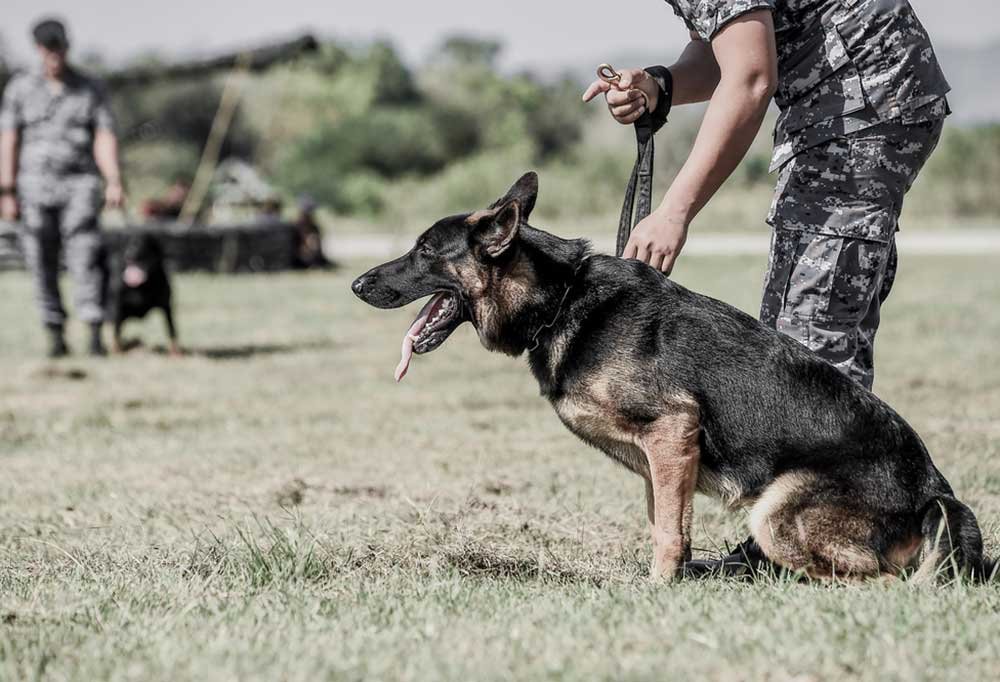 Soldier standing beside a German Shepherd instructing the dog to stay
