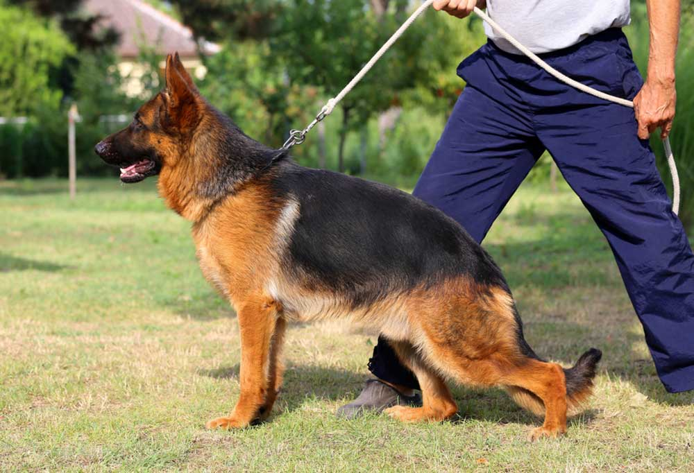German Shepherd on a leash next to a man holding the lead with one foot forward
