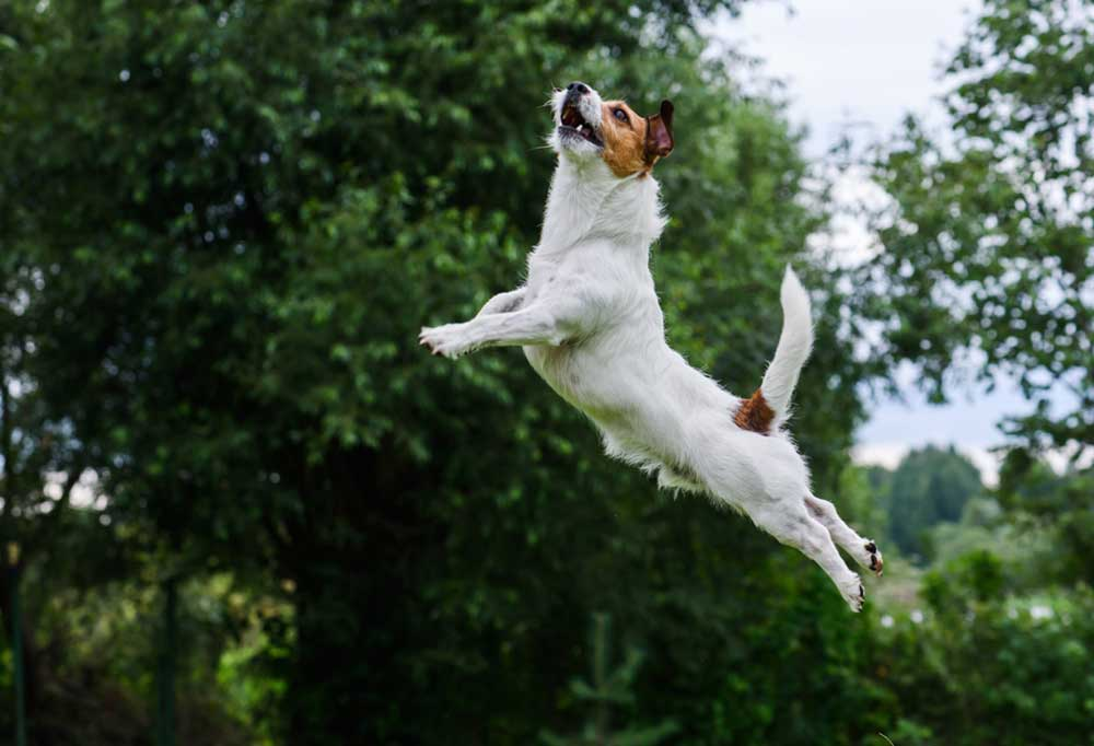 Jack Russell terrier outdoors jumping high into the air