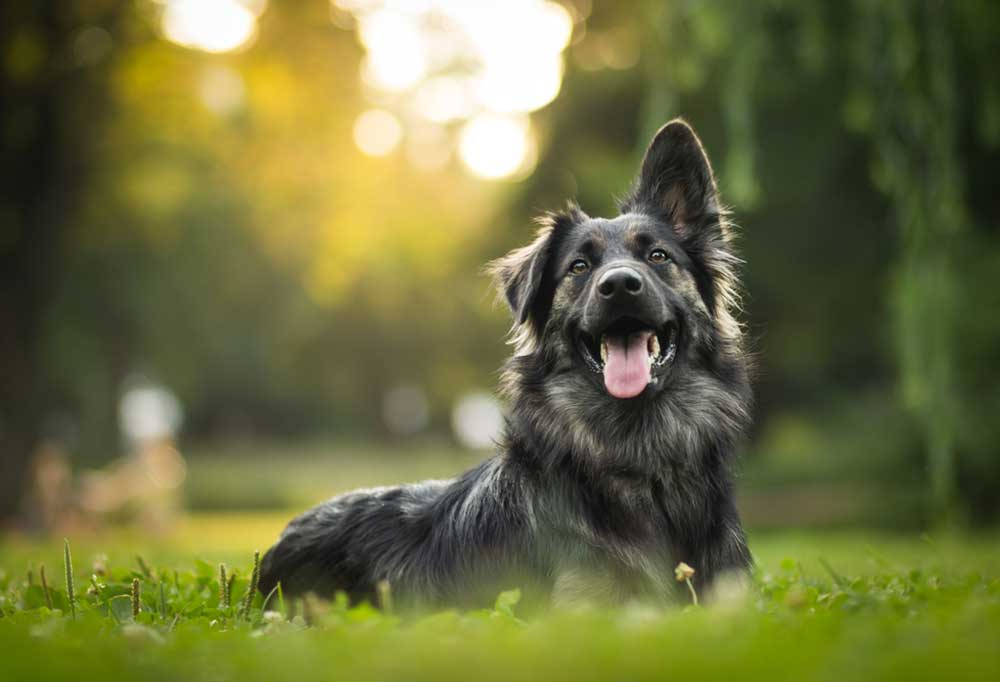 long haired mix colored dog laying in grass with one ear pointed up