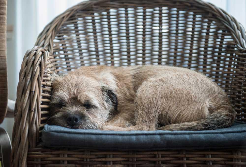 Scruffy dog asleep in a chair