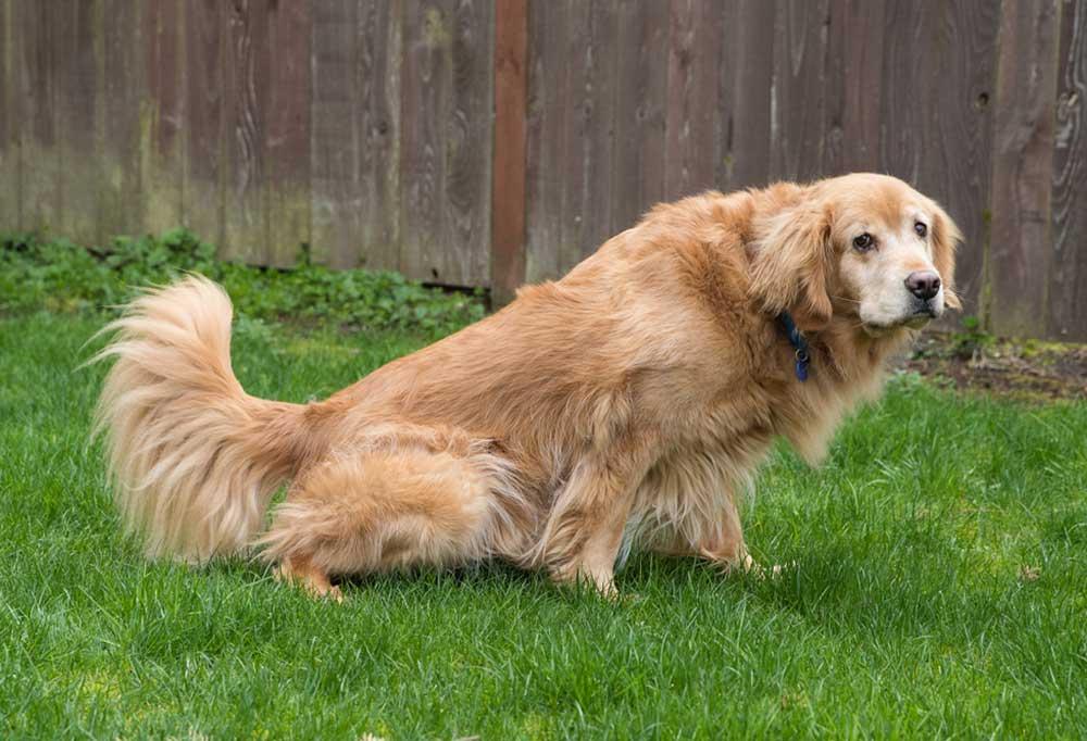Golden retriever peeing in green grass