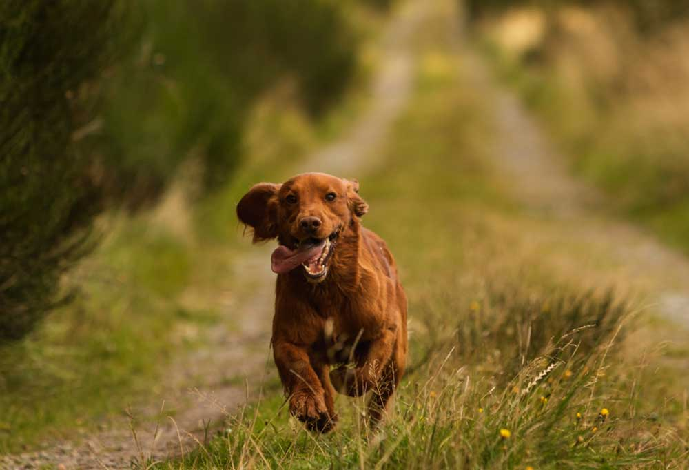 Long haired brown dog running up dirt and grass covered drive.