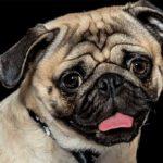 Head shot of pug on black background
