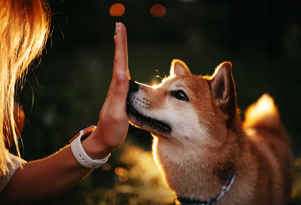 Woman holding hand, palm toward the dog, to the nose of a Shiba Inu
