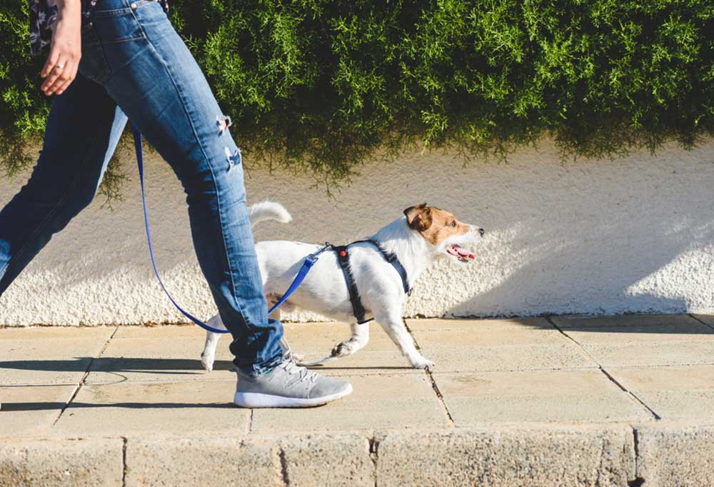 Jack Russell terrier walking beside a human down a sidewalk on a loose leash