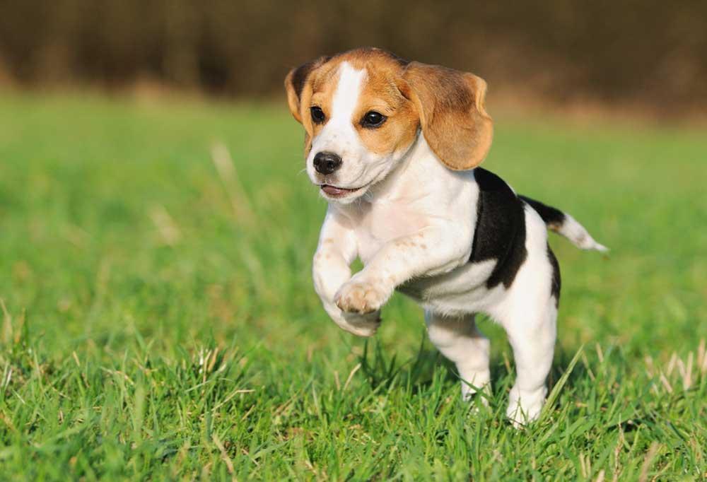 Beagle puppy running towards camera in grass outdoors