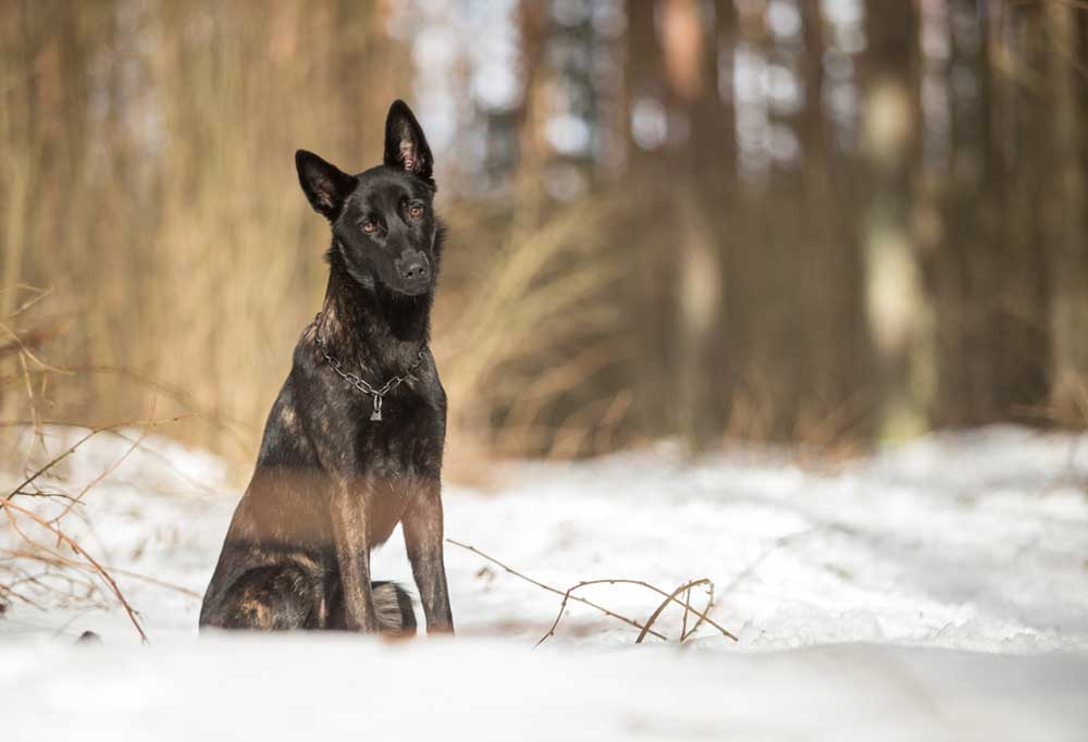 Dutch Shepherd sitting in the snow in front of a wooded area