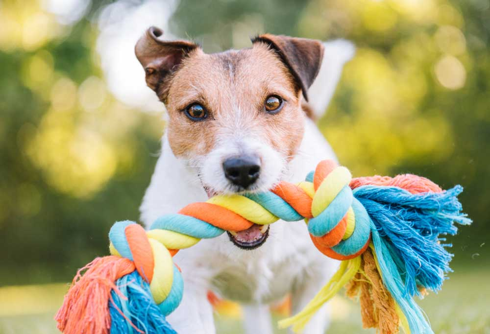 Jack Russell terrier holding rope toy in mouth outdoors