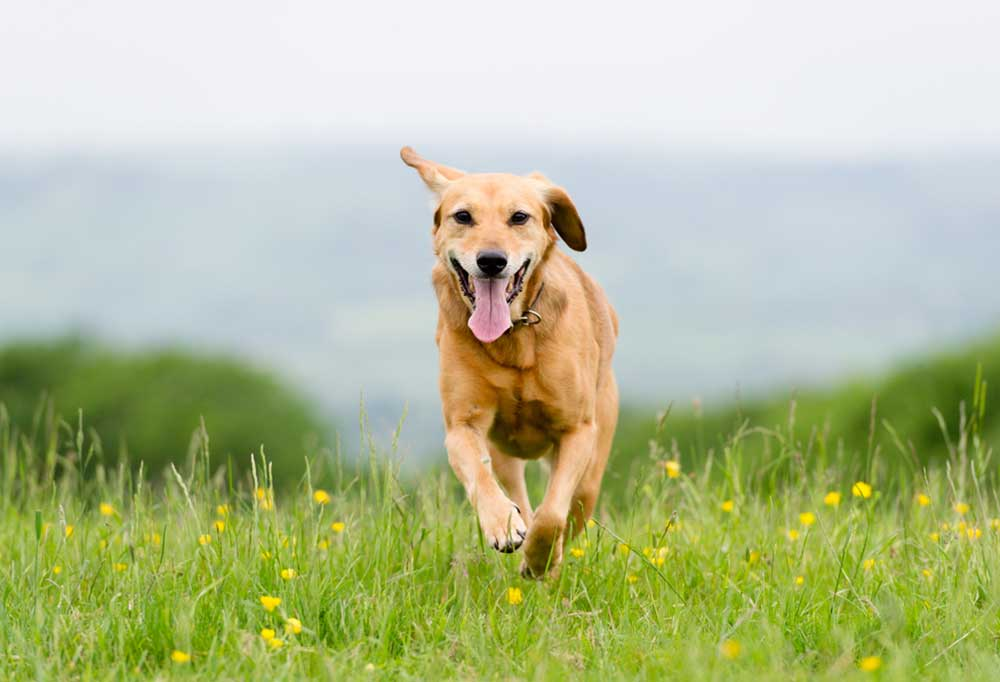 Tan dog running across field of grass and yellow flowers