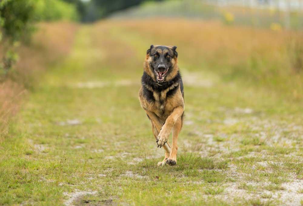 German shepherd running down a grass covered dirt road
