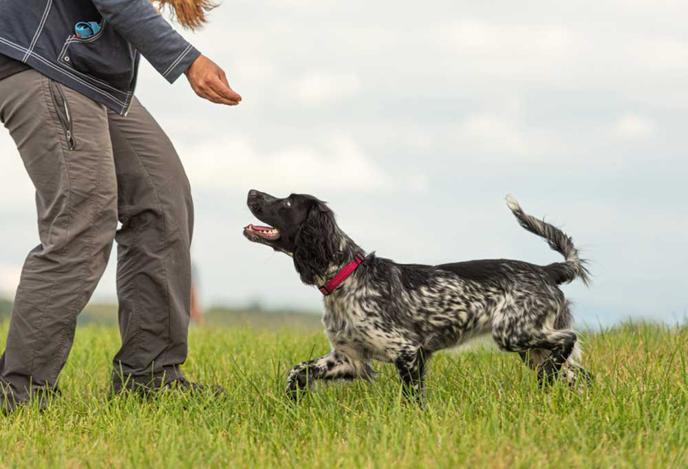"""Person teaching hunting dog to """"Come"""""""