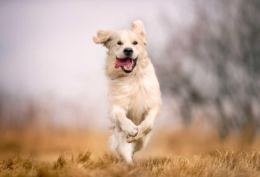 Golden retriever running though field of browned tall grass
