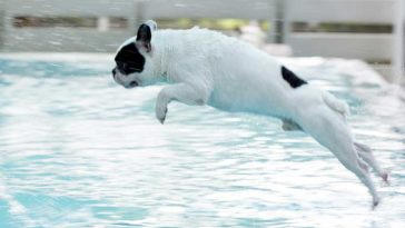 White French Bulldog with black spots jumping into swimming pool