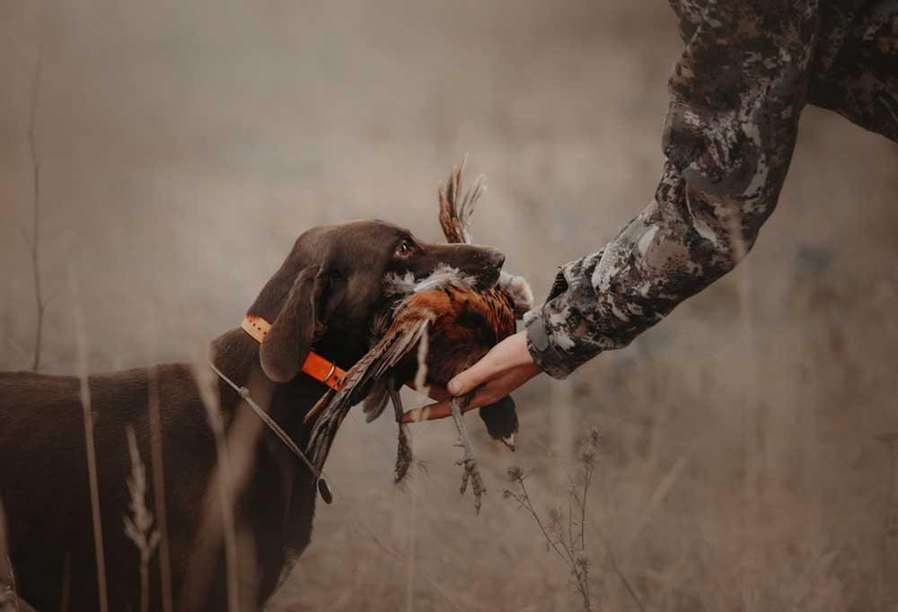Hunting dog returning wild game bird to owner