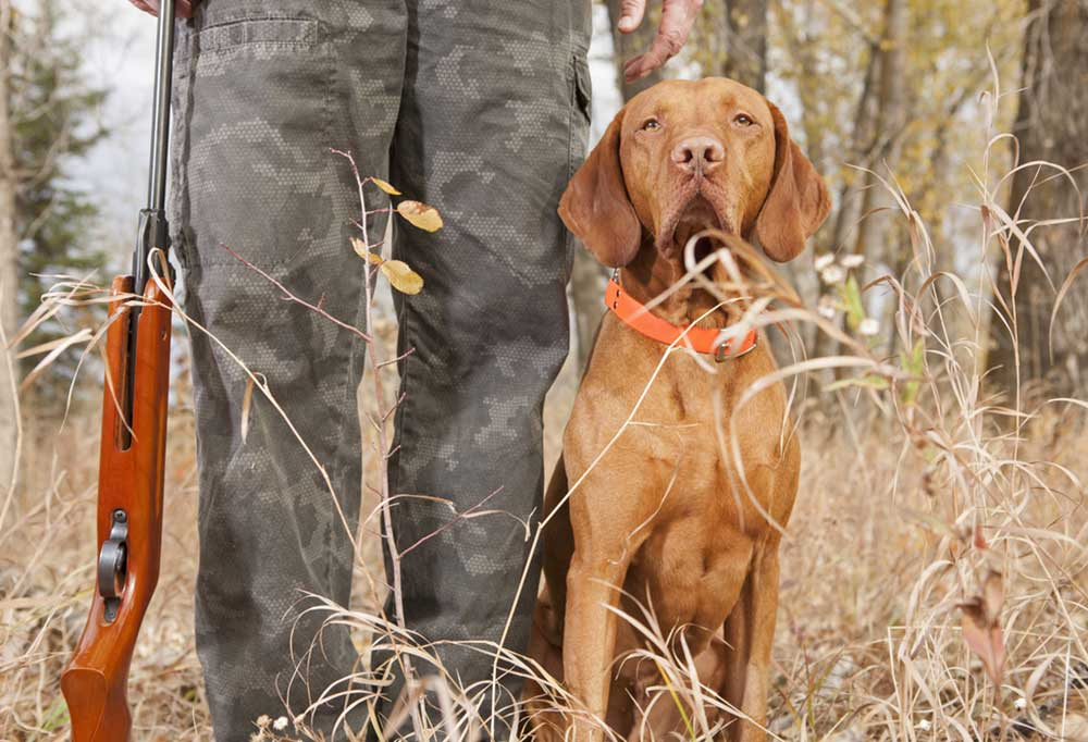 Brown hunting dog heeling at hunter's side in the woods