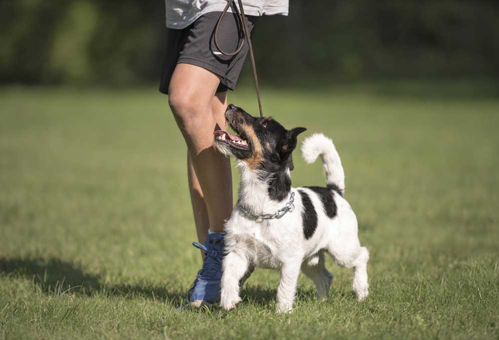 Jack Russell terrier heeling at the side of a person while walking through a field of grass