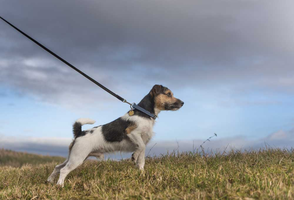 Jack Russell Terrier on a leash in a field of grass