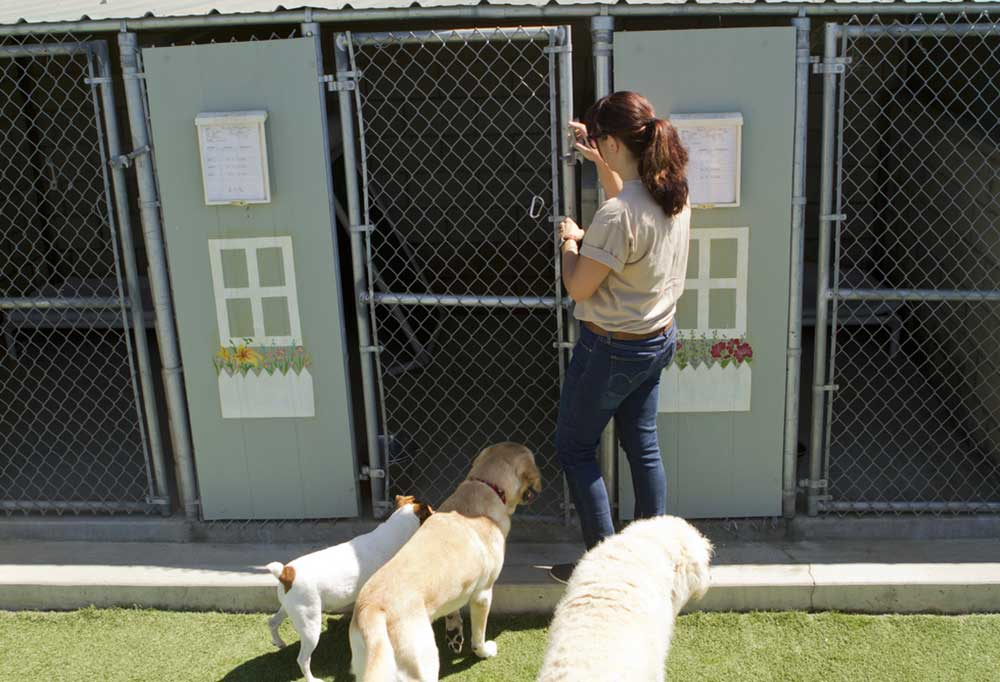Woman opening kennel gate for 3 dogs