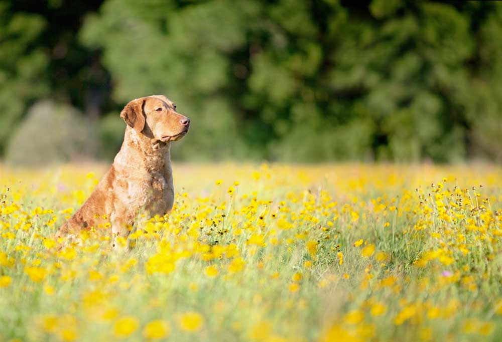 Chesapeake Bay Retriever sitting in field of yellow wild flowers