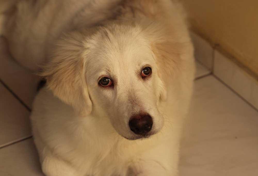 Fuzzy white dog laying on tile floor
