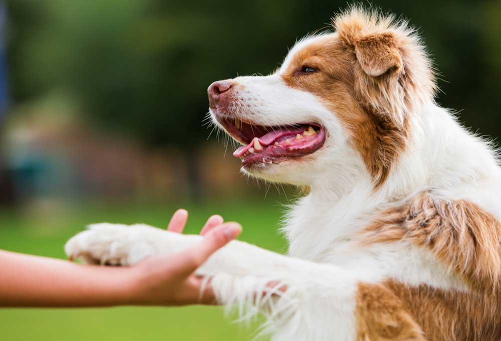 Brown and white fuzzy dog shaking someone's hand