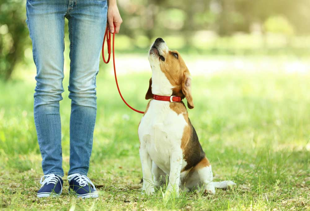 Beagle on leash sitting in grass looking up at person