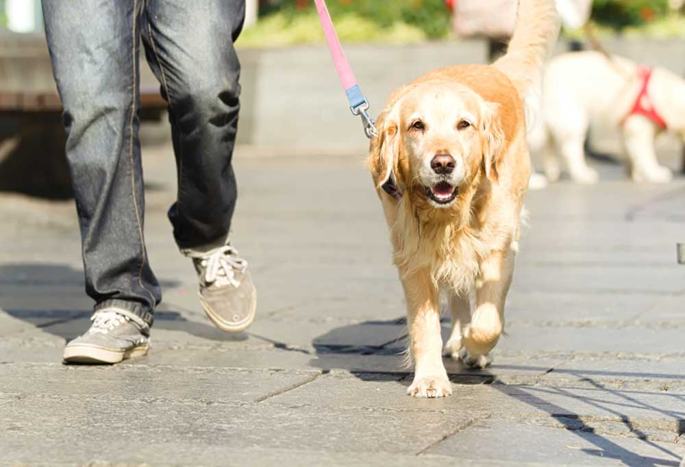 Golden retriever on leash walking next to person on sidewalk