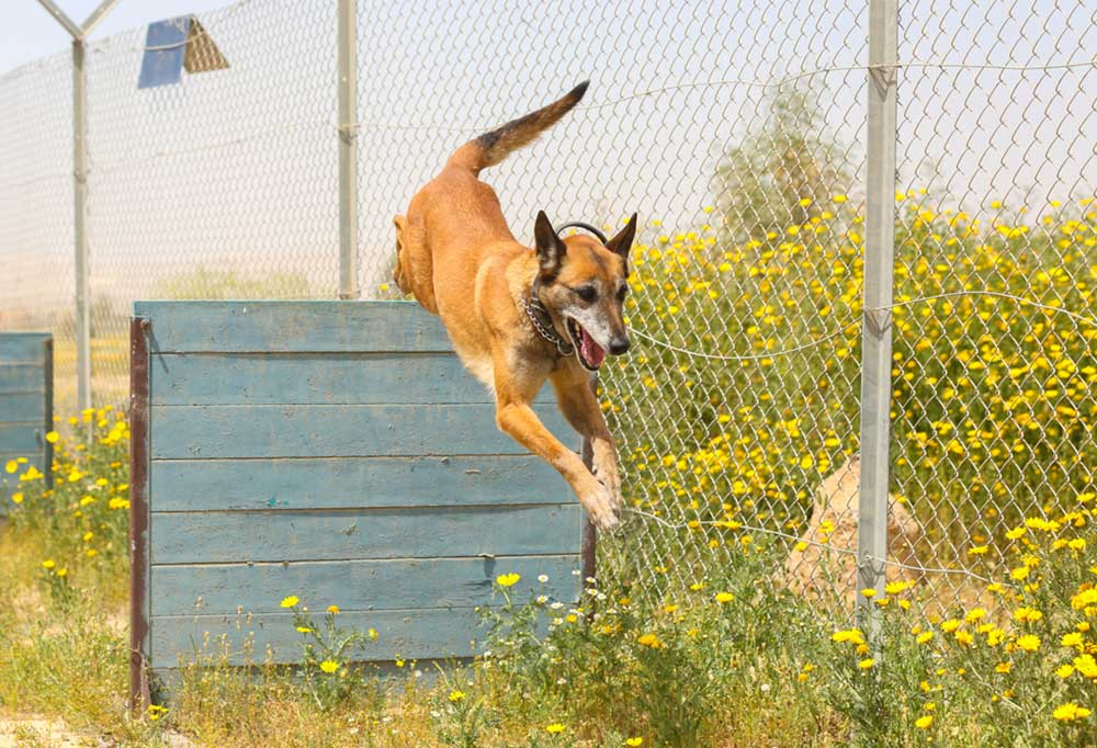Dog jumping hurdles next to a high fence in tall wild flowers