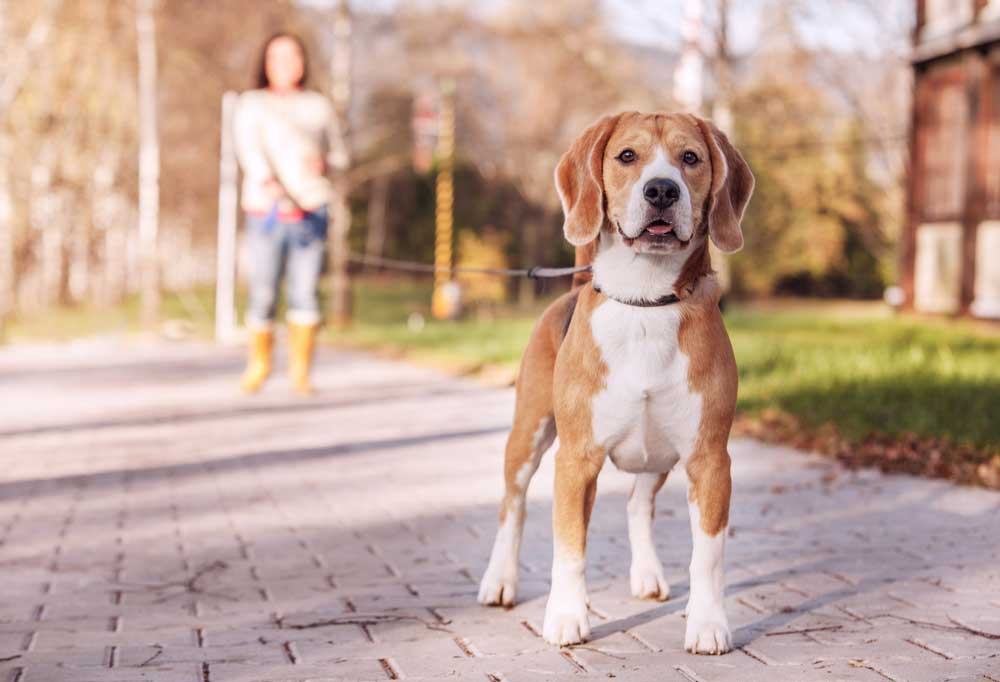 Beagle on a leash up close to the camera while a person in blurred in the background holding the leash