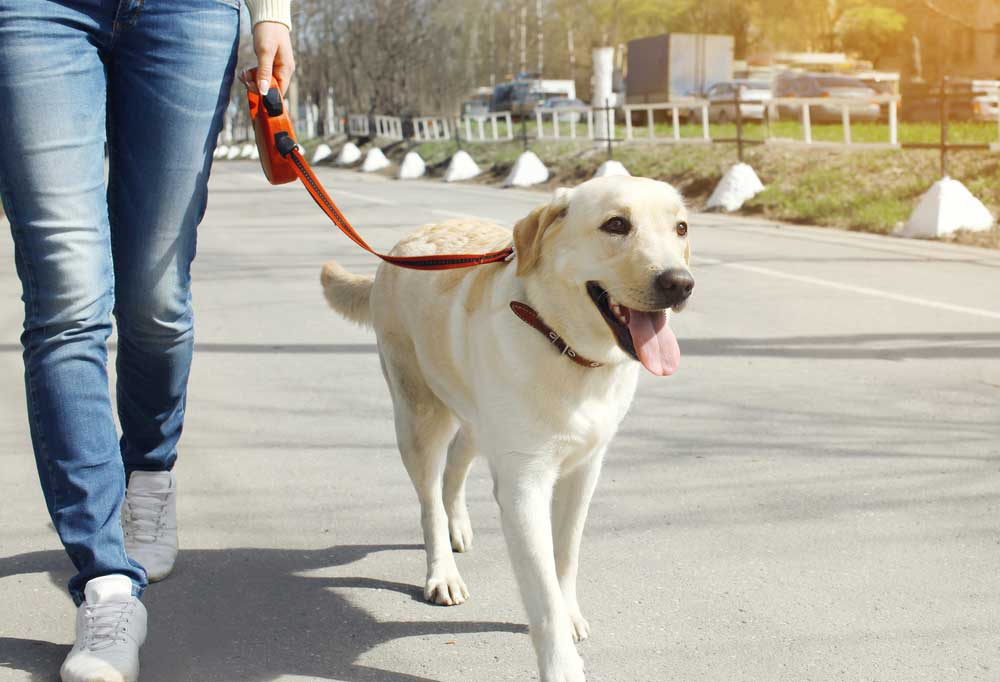 Keeping your dog safely at your side during a walk is a must. Here is how to train your dog to walk beside you.