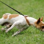 Chihuahua in grass pulling against the leash