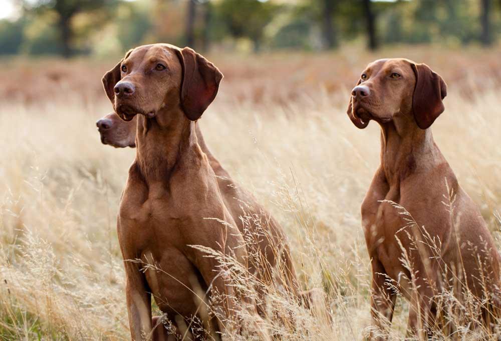 3 Hungarian Vizsla dogs sitting in tall autumn grass