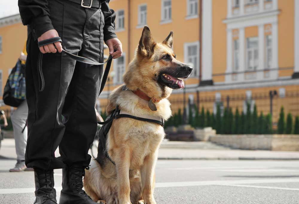 German shepherd in a harness with the lead being held by a person in uniform.
