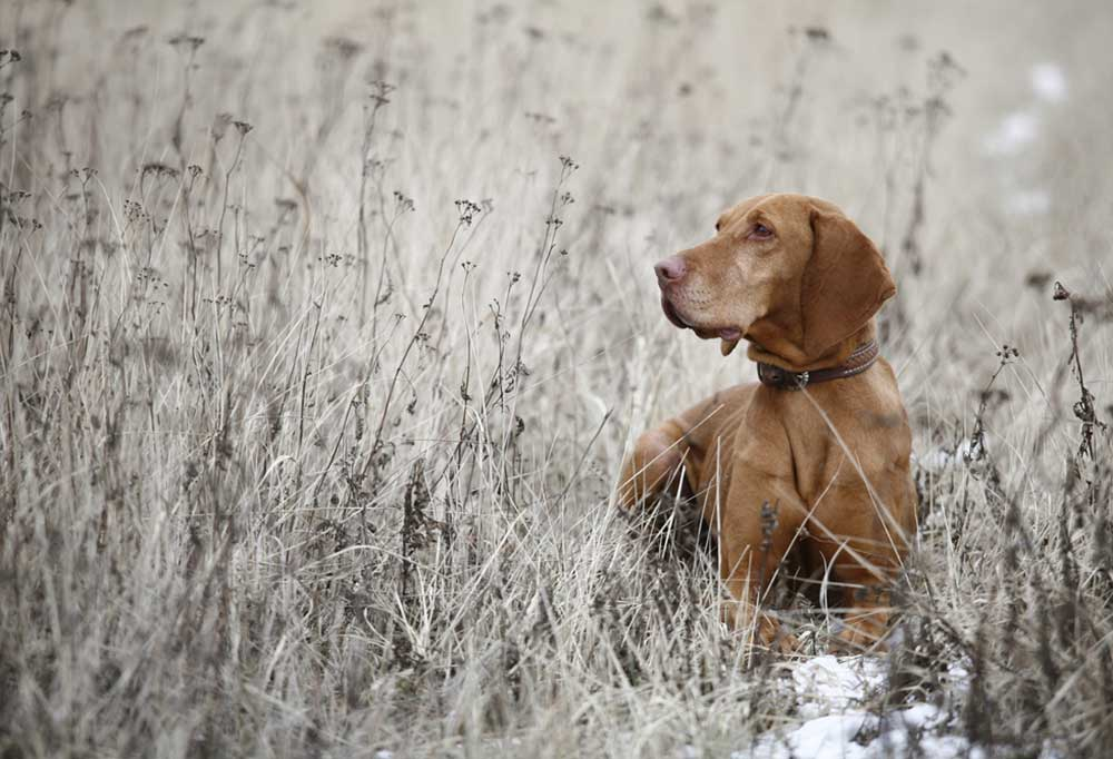 Hungarian pointer in tall winter weeds with a touch of snow on the ground.