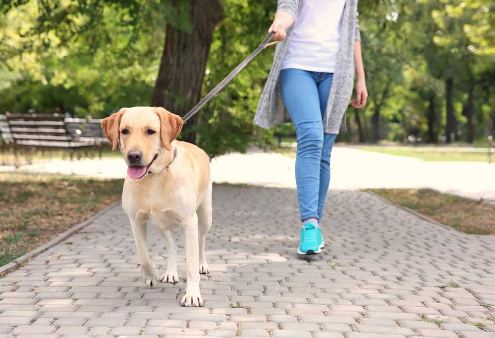 Yellow Labrador retriever walking on a leash with a woman who is holding the other end of the leash