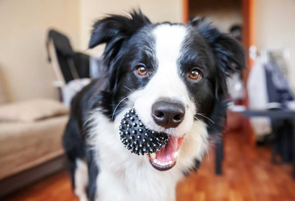 Border collie indoors and black ball in its mouth