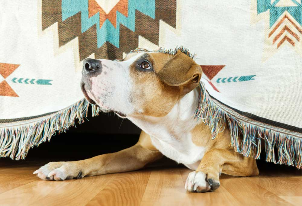 Dog peaking out from under a bed covered with a fringed blanket