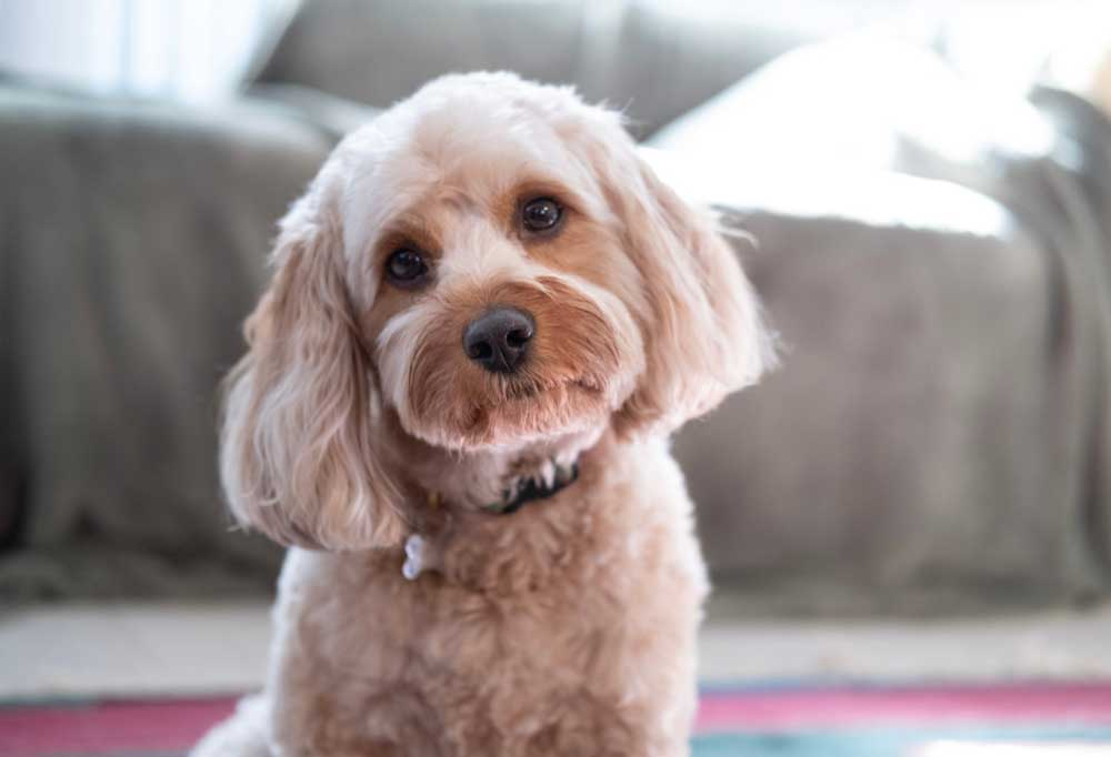 Portrait of a Cavapoo indoors with head tilted