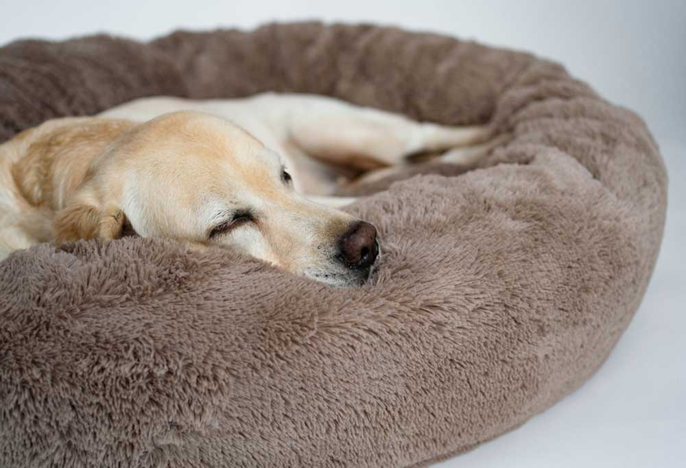 Yellow Labrador on a fuzzy brown dog bed, sleeping.
