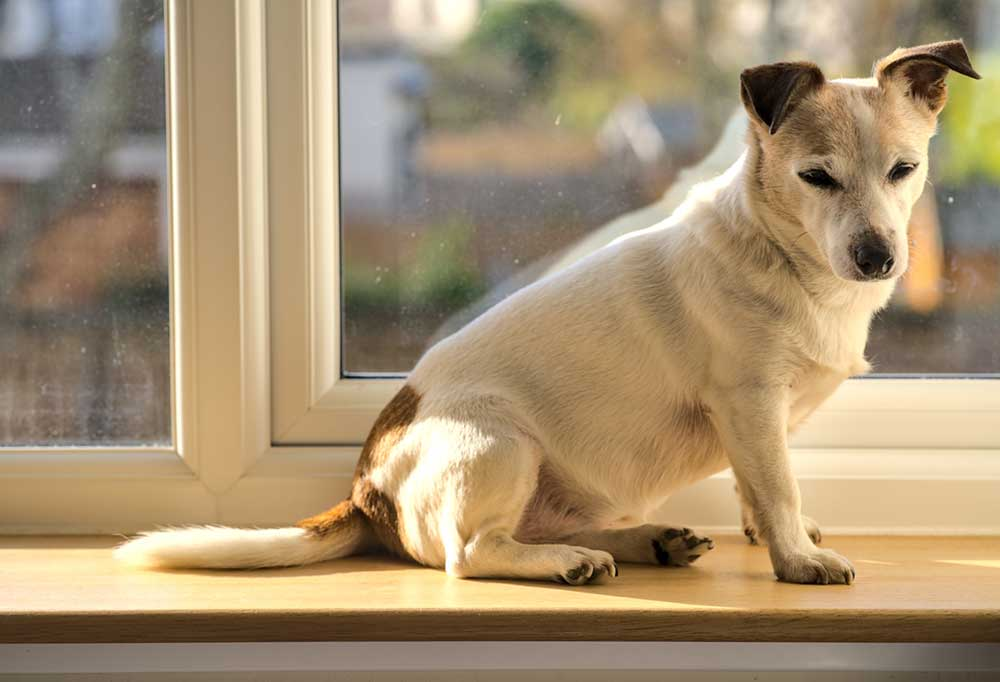 Old Jack Russell Terrier in a windowsill
