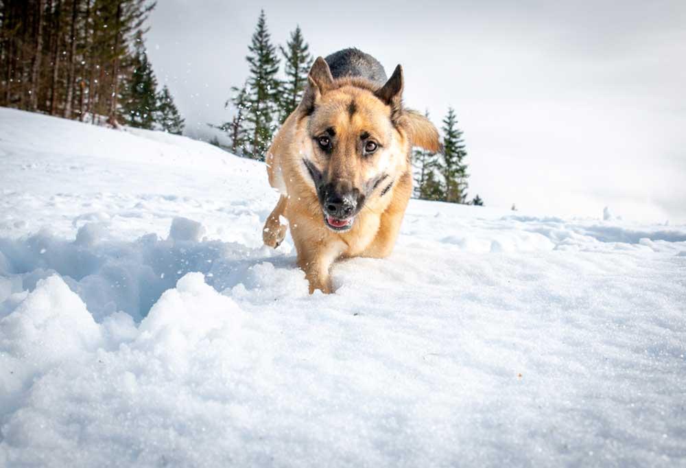German Shepherd running through snow towards camera