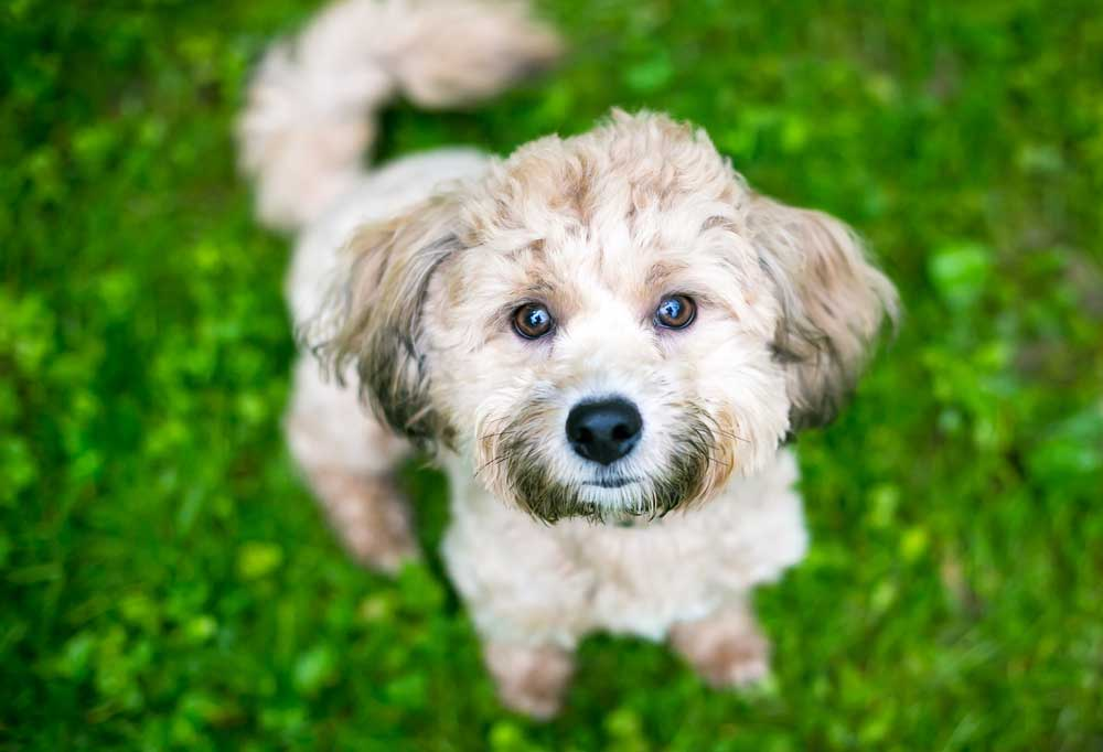 Mixed Breed Poodle dog with grass stains in fur standing in green grass