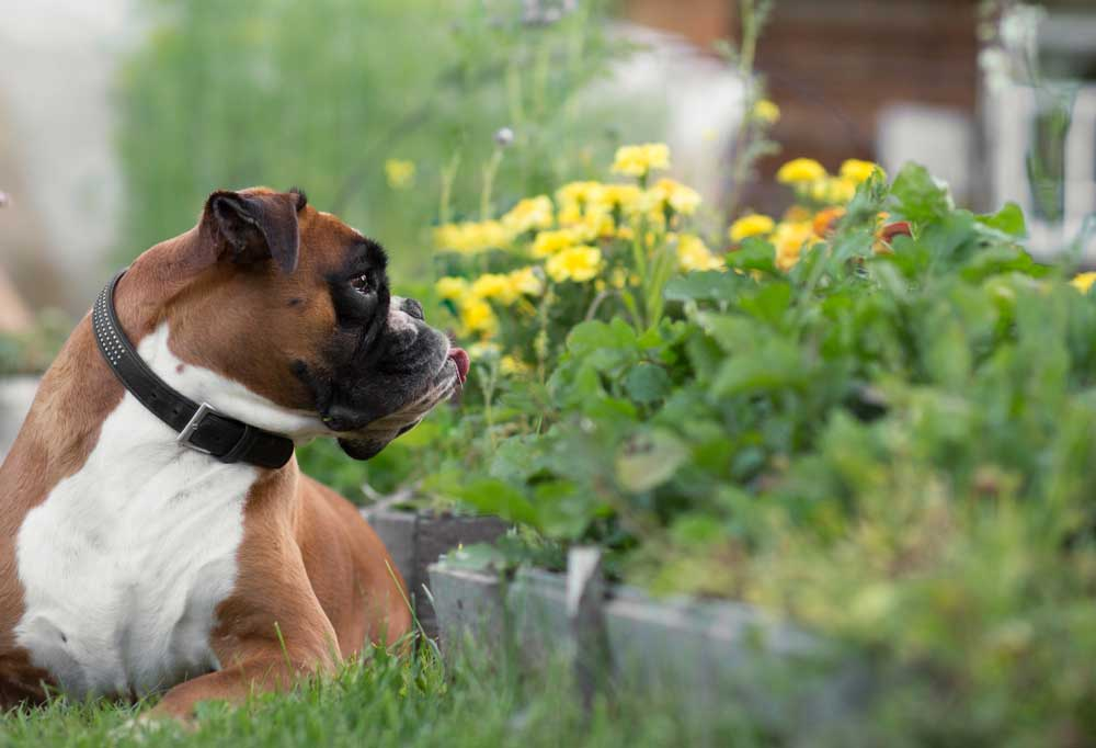 Boxer looking over his shoulder at a garden bed.