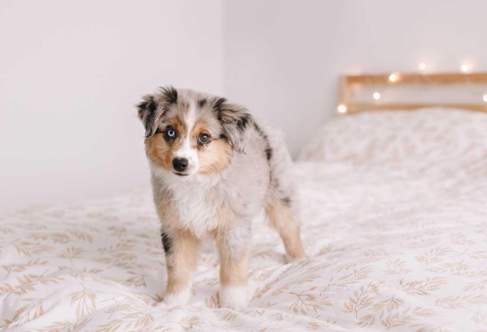 miniature Australian shepherd standing on a bed