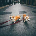 2 Corgis on leashes on a sidewalk