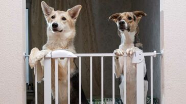 Two dogs with front paws on top of a baby gate looking towards the camera