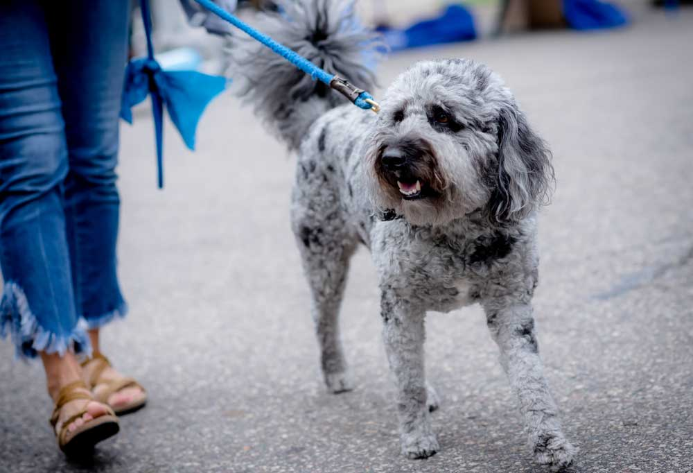 Poodle mined breed being walked on asphalt by a person in jeans
